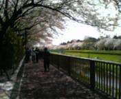 お花見歩行